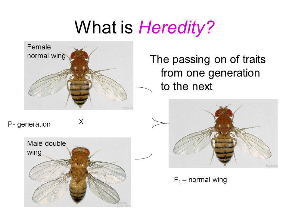 What is Heredity Female normal wing. The passing on of traits from one generation to the next. X.