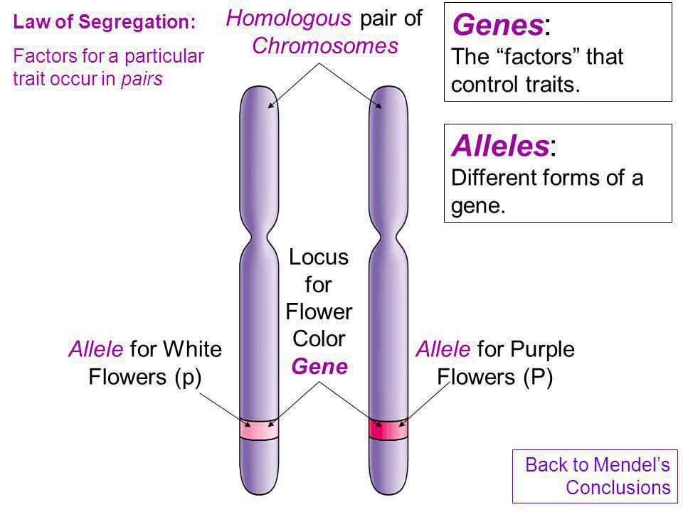 Genes: The factors that control traits.