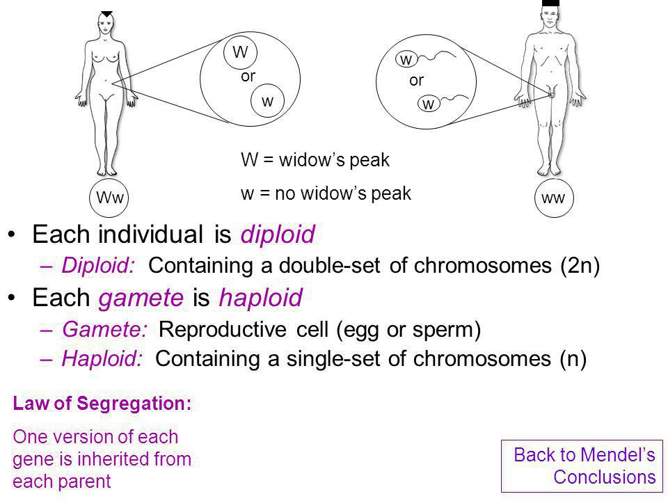 Each individual is diploid Each gamete is haploid