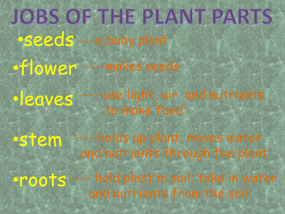 JOBS OF THE PLANT PARTS seeds flower leaves stem roots