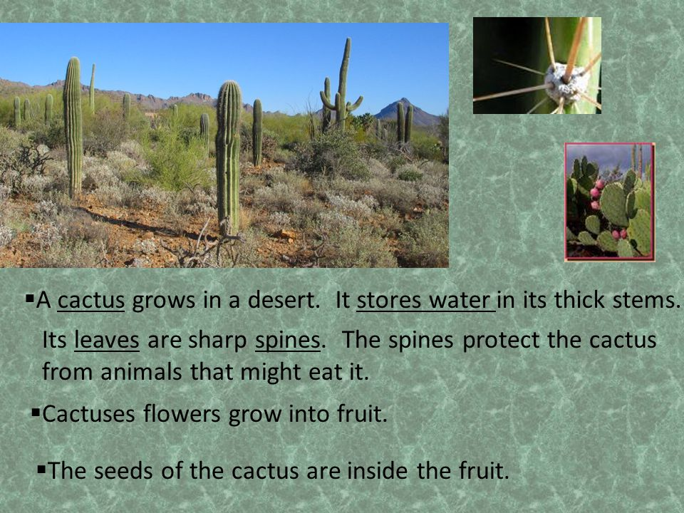 A cactus grows in a desert. It stores water in its thick stems.