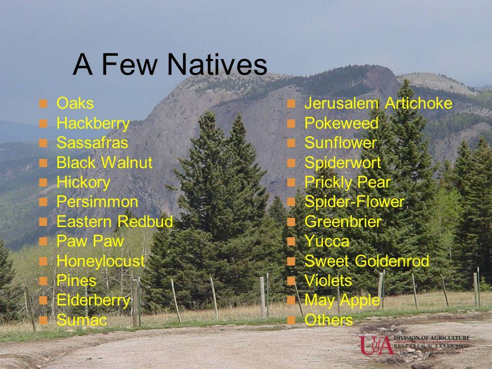A Few Natives Oaks Hackberry Sassafras Black Walnut Hickory Persimmon