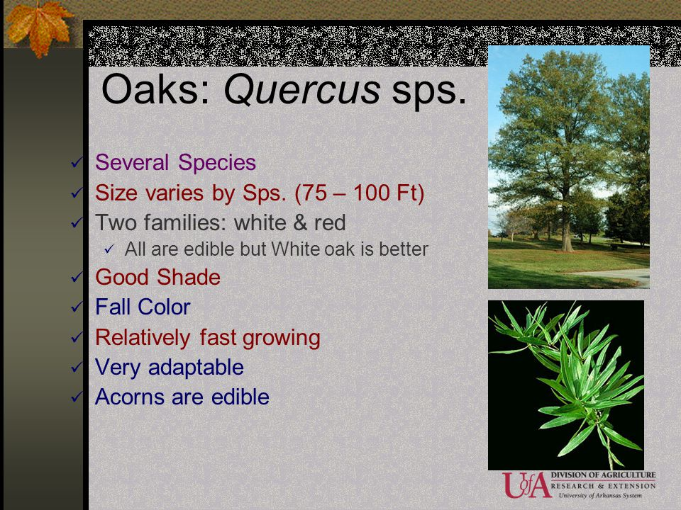 Oaks: Quercus sps. Several Species Size varies by Sps. (75 – 100 Ft)