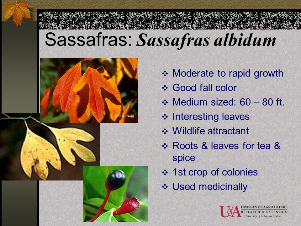 Sassafras: Sassafras albidum