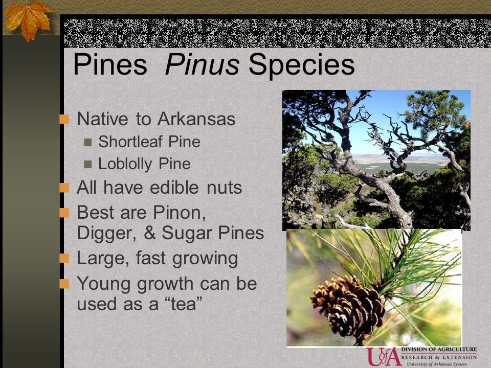 Pines Pinus Species Native to Arkansas All have edible nuts