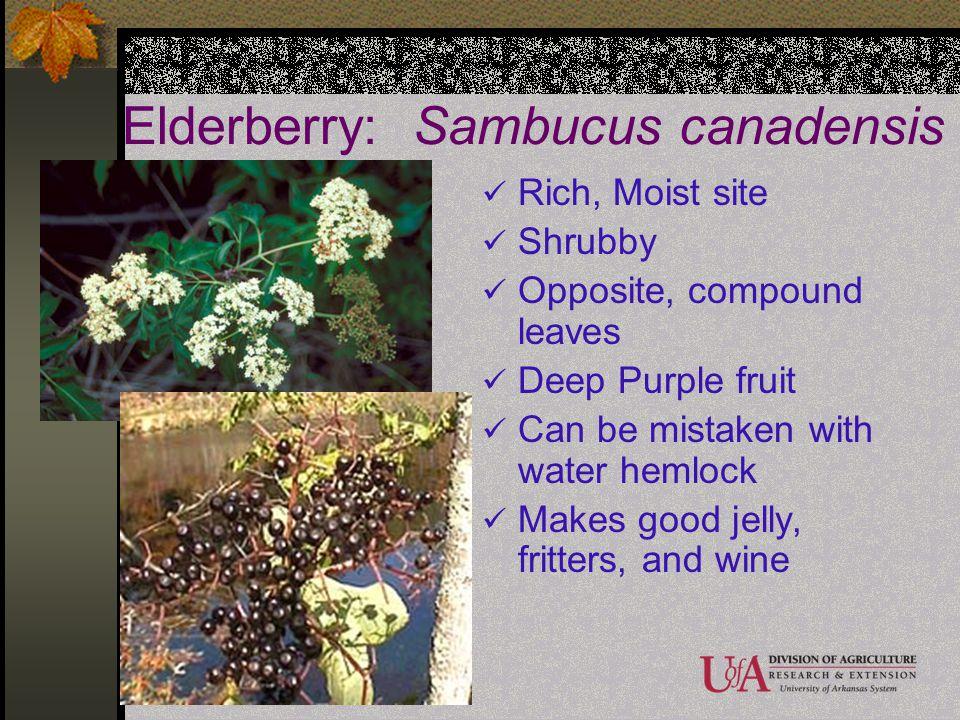 Elderberry: Sambucus canadensis