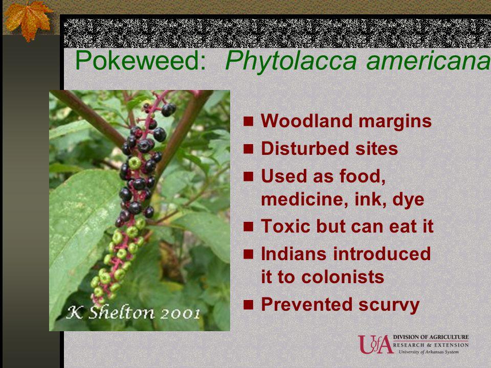 Pokeweed: Phytolacca americana