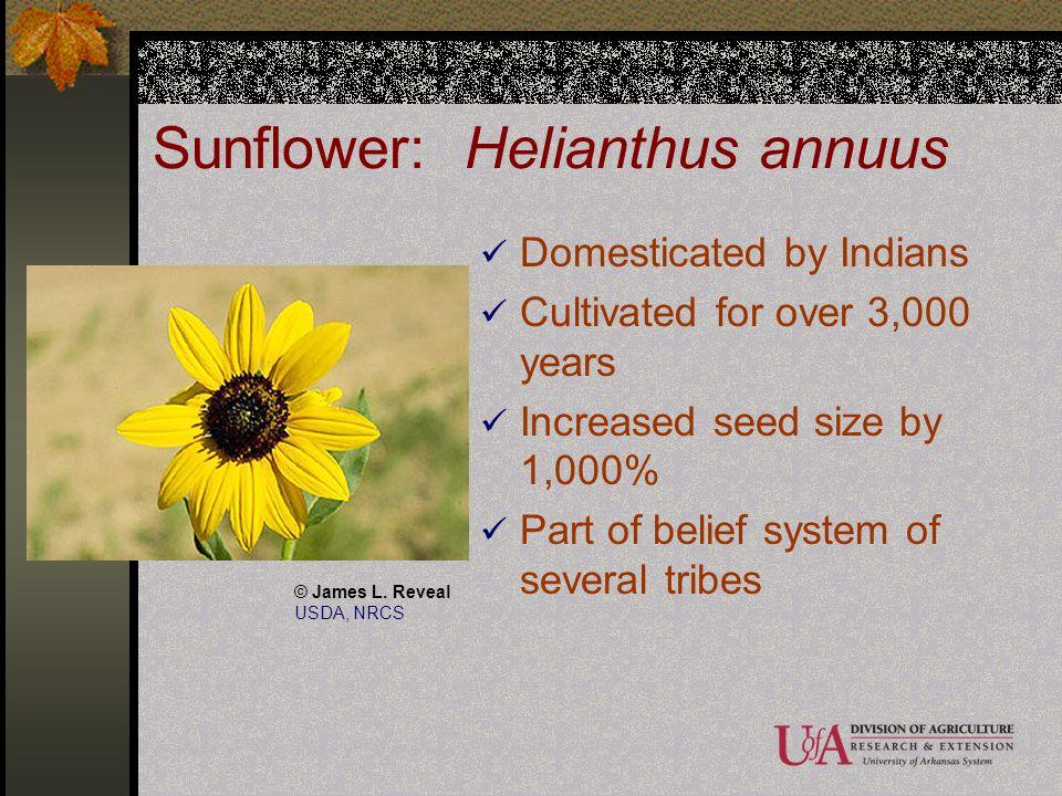 Sunflower: Helianthus annuus
