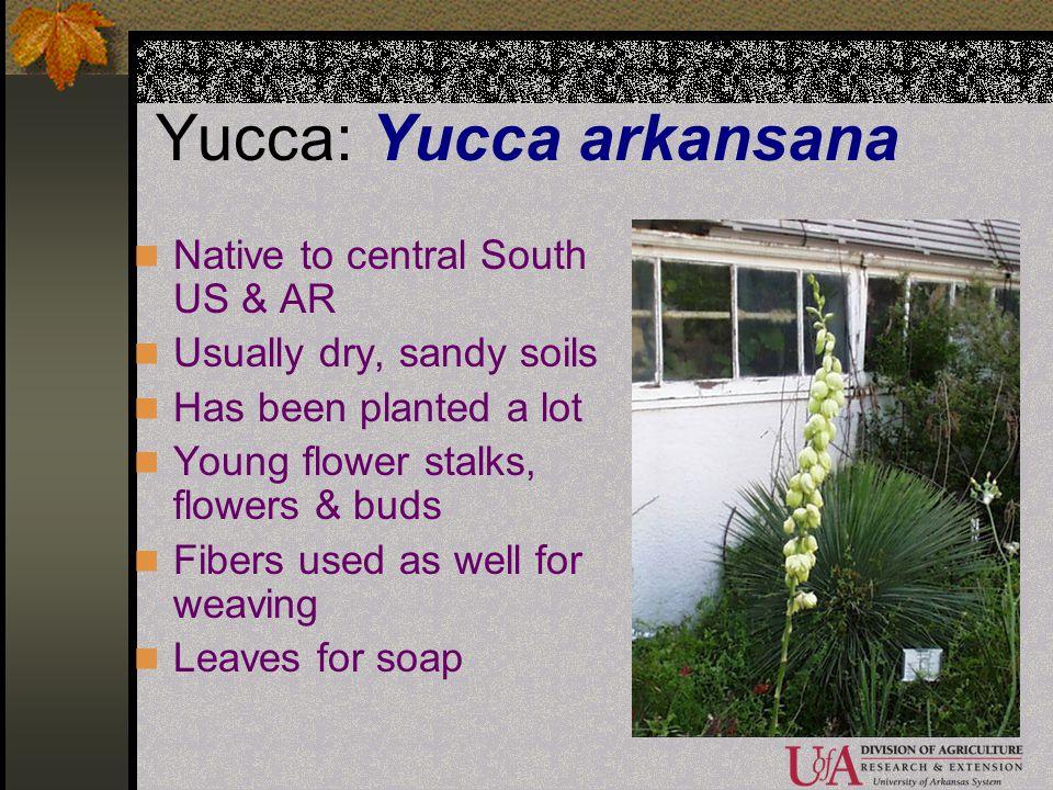 Yucca: Yucca arkansana