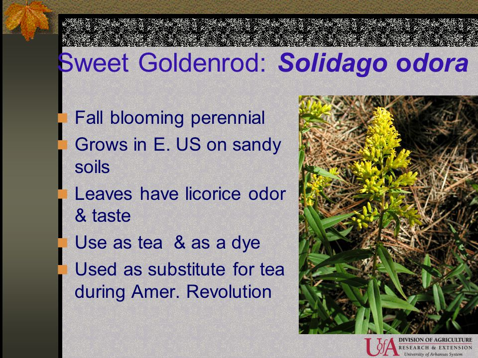 Sweet Goldenrod: Solidago odora