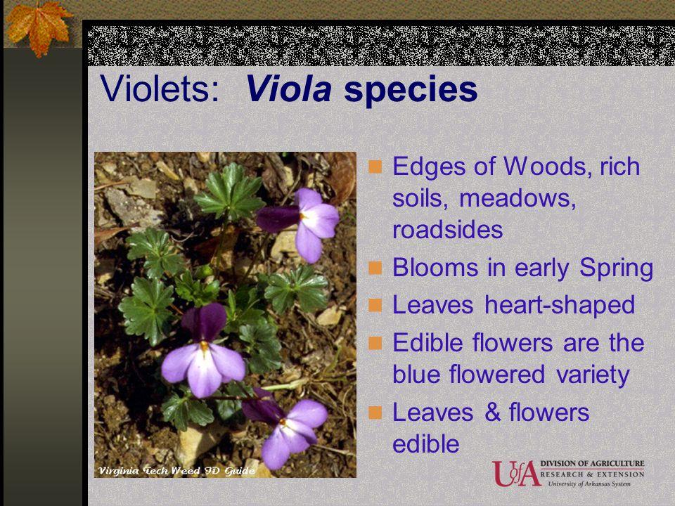 Violets: Viola species