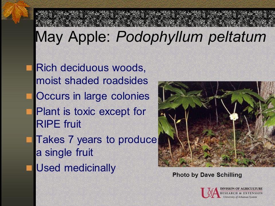 May Apple: Podophyllum peltatum