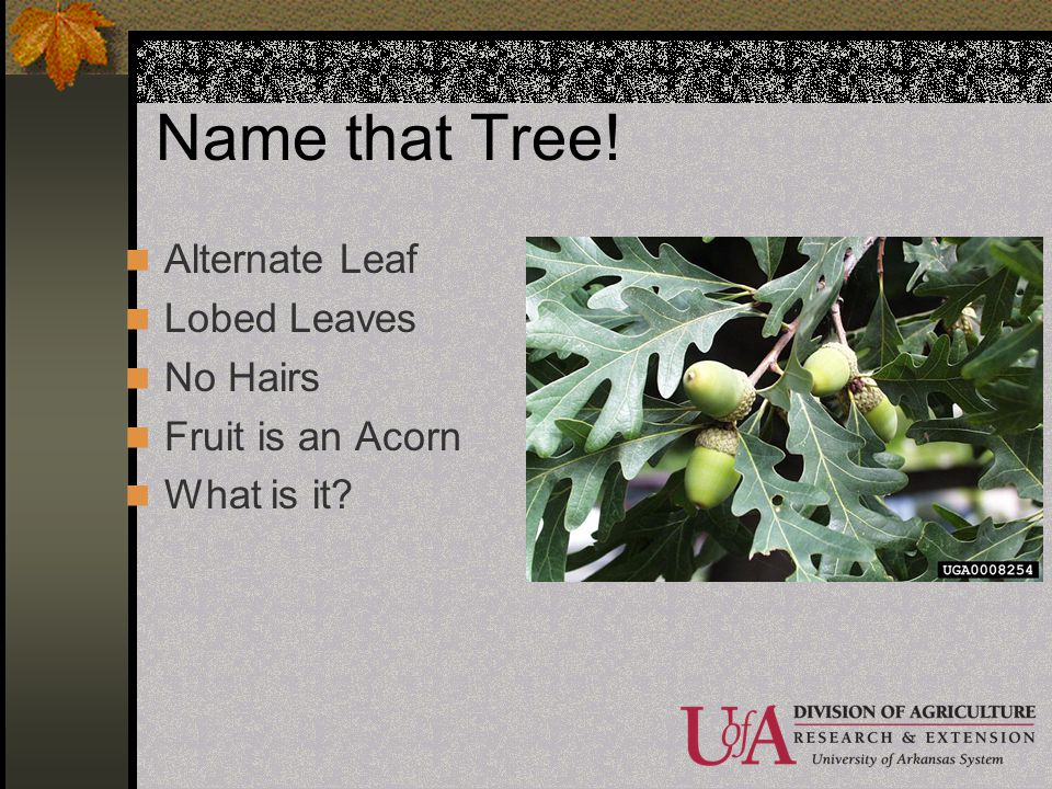 Name that Tree! Alternate Leaf Lobed Leaves No Hairs Fruit is an Acorn