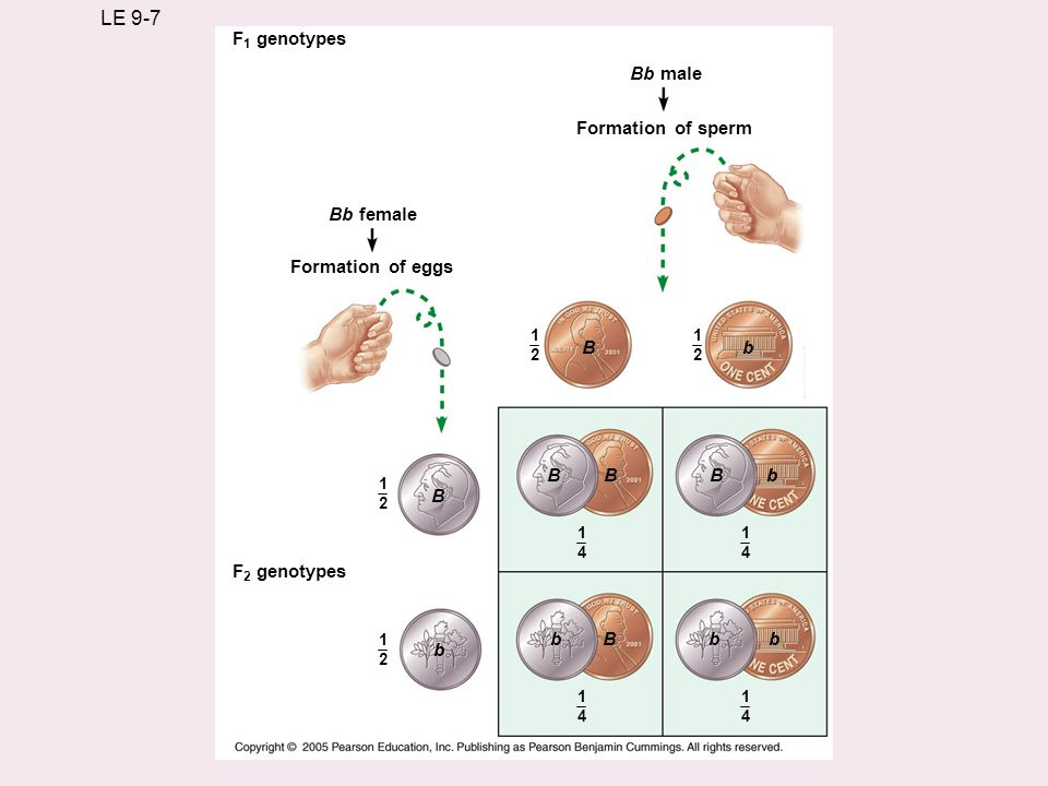 LE 9-7 F1 genotypes Bb male Formation of sperm Bb female