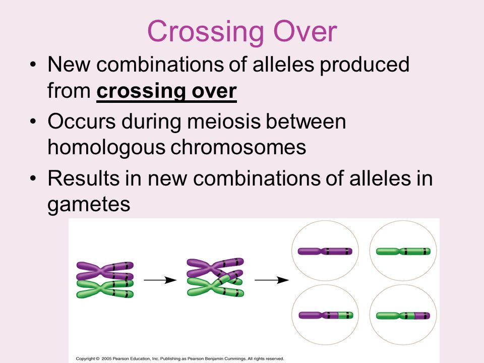 Crossing Over New combinations of alleles produced from crossing over