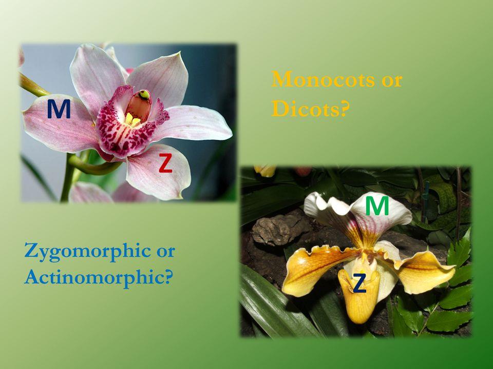 Monocots or Dicots M Z M Zygomorphic or Actinomorphic Z