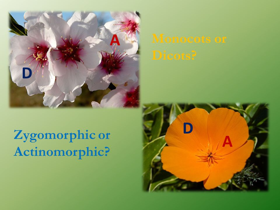 A Monocots or Dicots D D Zygomorphic or Actinomorphic A