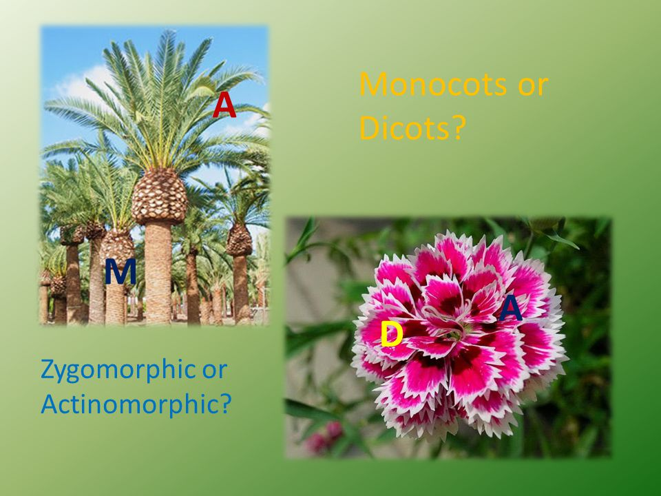 Monocots or Dicots A M A D Zygomorphic or Actinomorphic