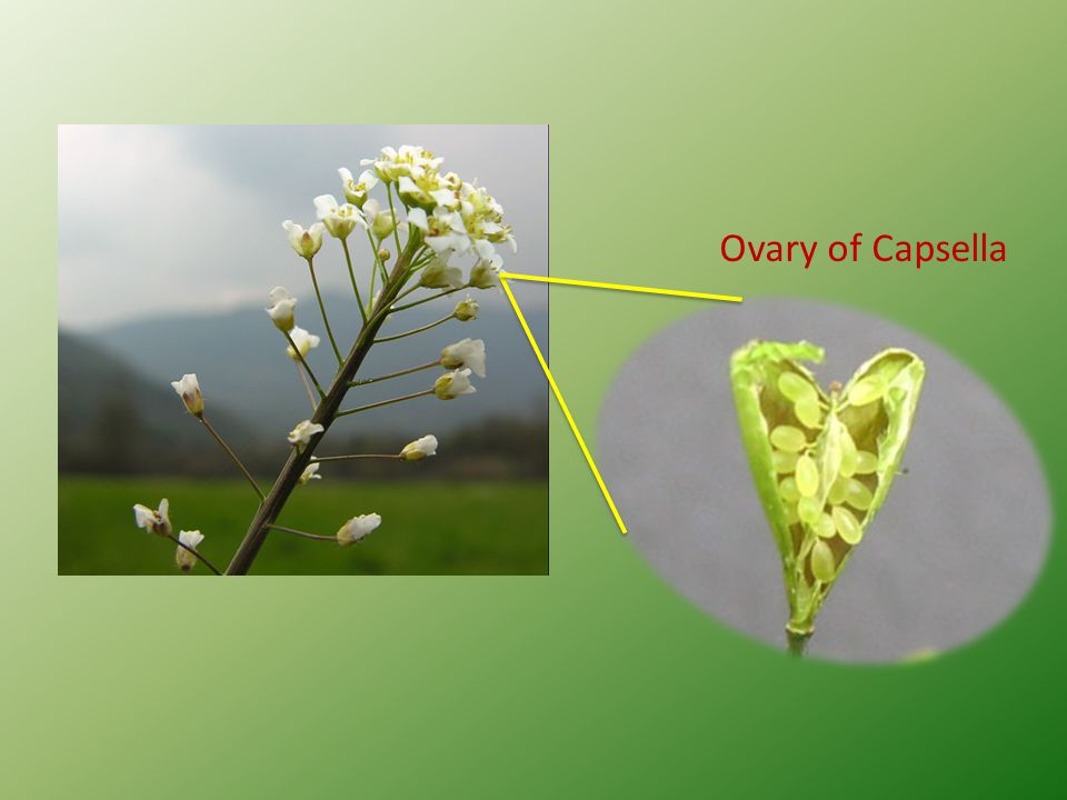 Ovary of Capsella