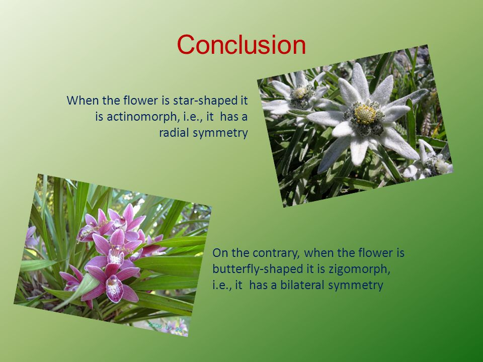 Conclusion When the flower is star-shaped it is actinomorph, i.e., it has a radial symmetry.