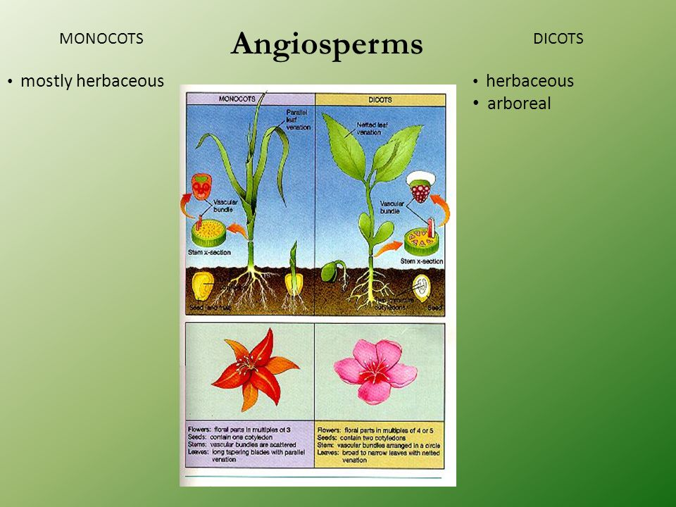 Angiosperms MONOCOTS mostly herbaceous DICOTS herbaceous arboreal