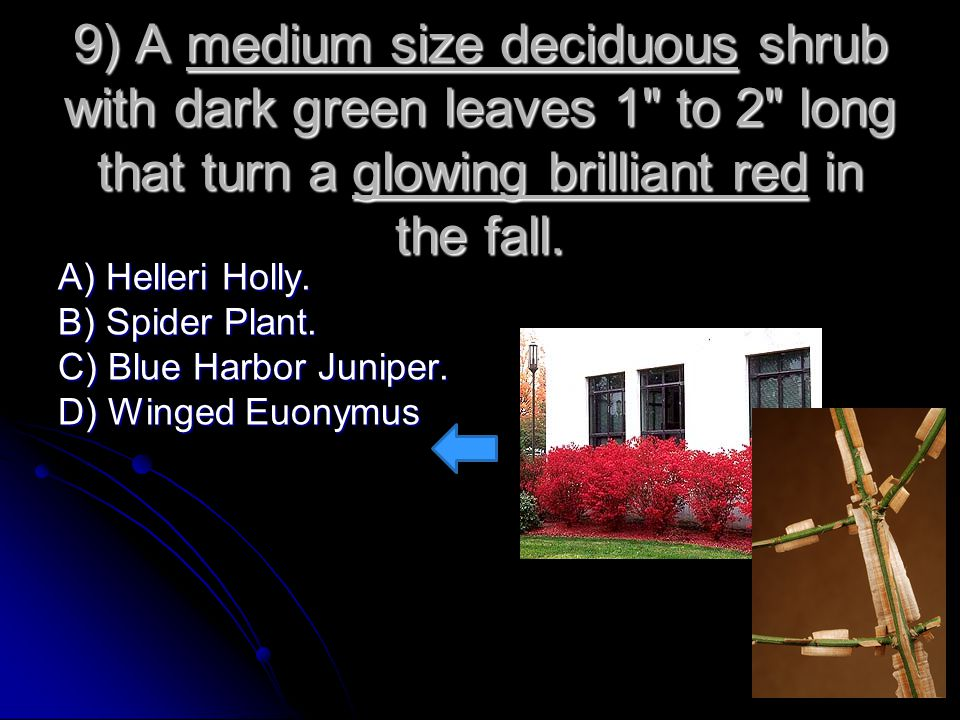 9) A medium size deciduous shrub with dark green leaves 1 to 2 long that turn a glowing brilliant red in the fall.