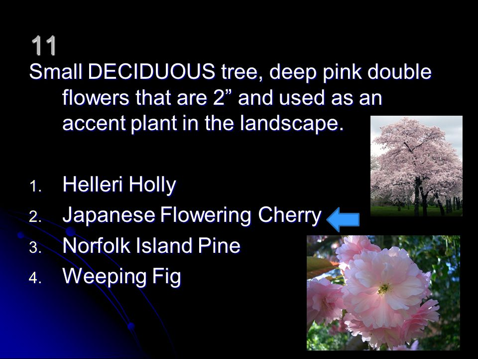 11 Small DECIDUOUS tree, deep pink double flowers that are 2 and used as an accent plant in the landscape.