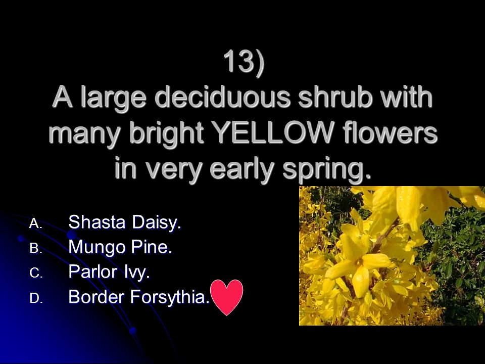 13) A large deciduous shrub with many bright YELLOW flowers in very early spring.