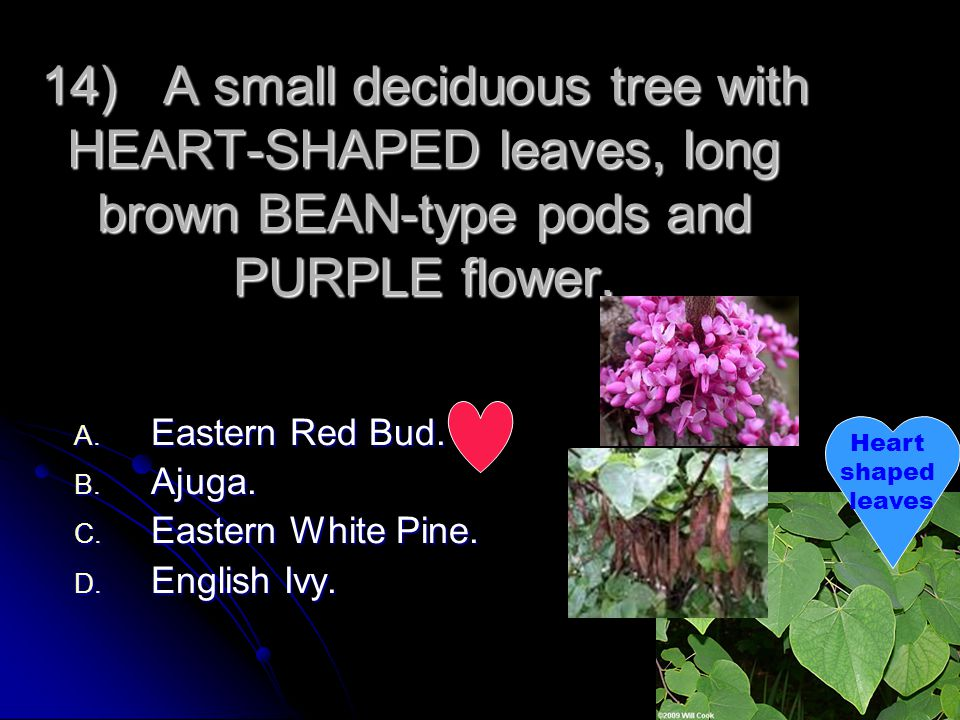 14) A small deciduous tree with HEART-SHAPED leaves, long brown BEAN-type pods and PURPLE flower.