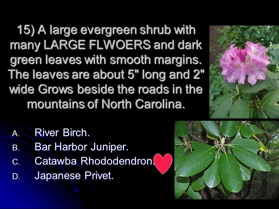 15) A large evergreen shrub with many LARGE FLWOERS and dark green leaves with smooth margins. The leaves are about 5 long and 2 wide Grows beside the roads in the mountains of North Carolina.