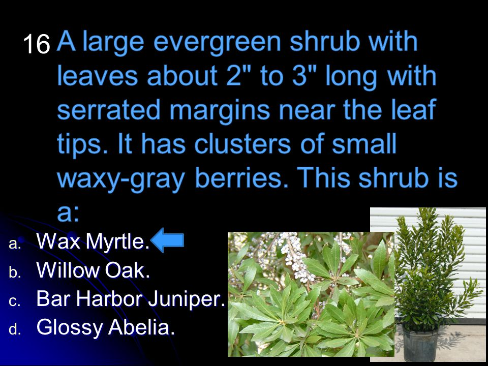 A large evergreen shrub with leaves about 2 to 3 long with serrated margins near the leaf tips. It has clusters of small waxy-gray berries. This shrub is a: