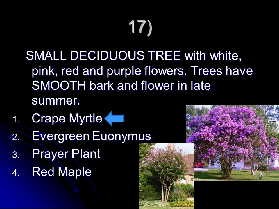 17) SMALL DECIDUOUS TREE with white, pink, red and purple flowers. Trees have SMOOTH bark and flower in late summer.