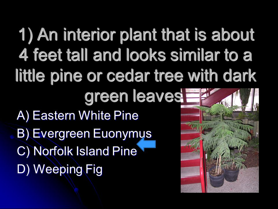 1) An interior plant that is about 4 feet tall and looks similar to a little pine or cedar tree with dark green leaves.