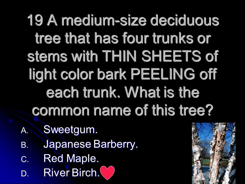 19 A medium-size deciduous tree that has four trunks or stems with THIN SHEETS of light color bark PEELING off each trunk. What is the common name of this tree