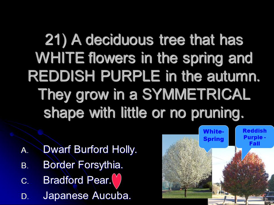 21) A deciduous tree that has WHITE flowers in the spring and REDDISH PURPLE in the autumn. They grow in a SYMMETRICAL shape with little or no pruning.