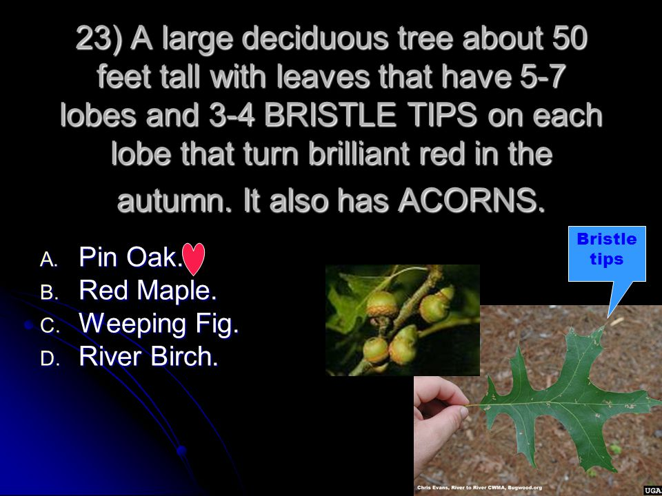 23) A large deciduous tree about 50 feet tall with leaves that have 5-7 lobes and 3-4 BRISTLE TIPS on each lobe that turn brilliant red in the autumn. It also has ACORNS.