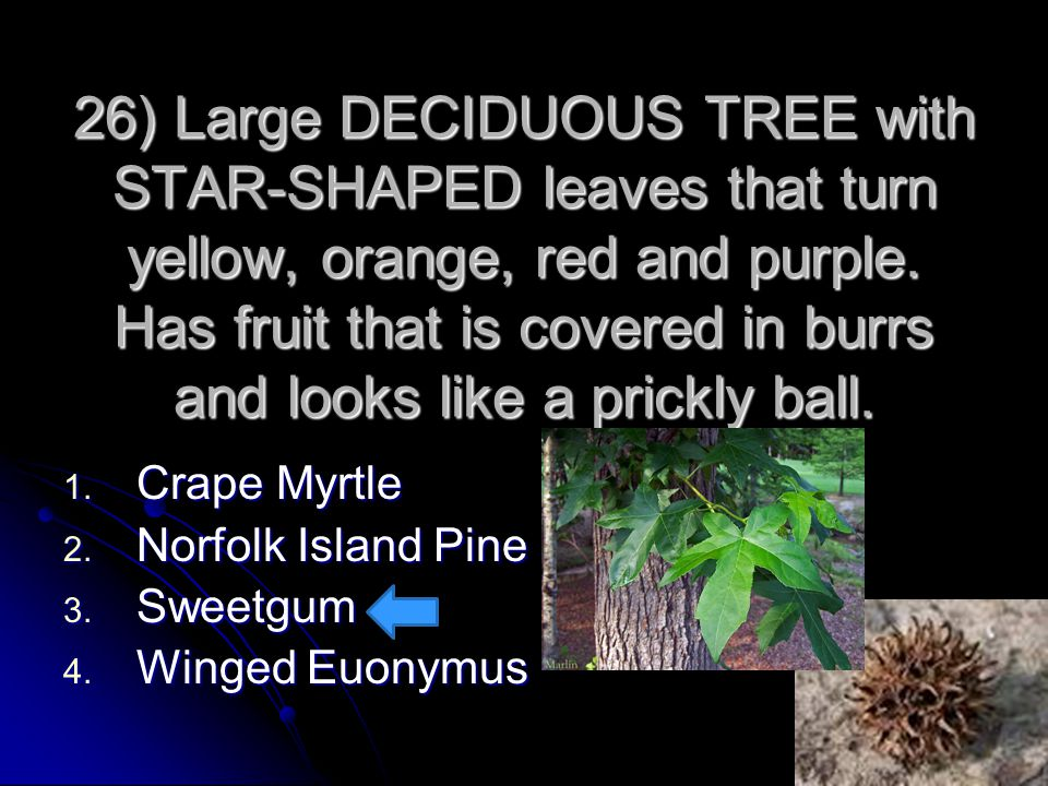 26) Large DECIDUOUS TREE with STAR-SHAPED leaves that turn yellow, orange, red and purple. Has fruit that is covered in burrs and looks like a prickly ball.