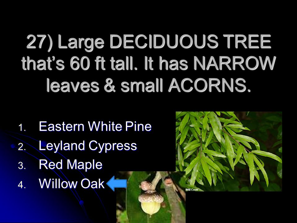27) Large DECIDUOUS TREE that's 60 ft tall