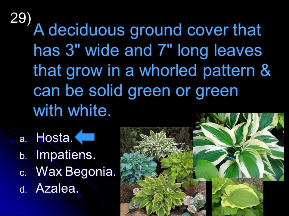 29) A deciduous ground cover that has 3 wide and 7 long leaves that grow in a whorled pattern & can be solid green or green with white.