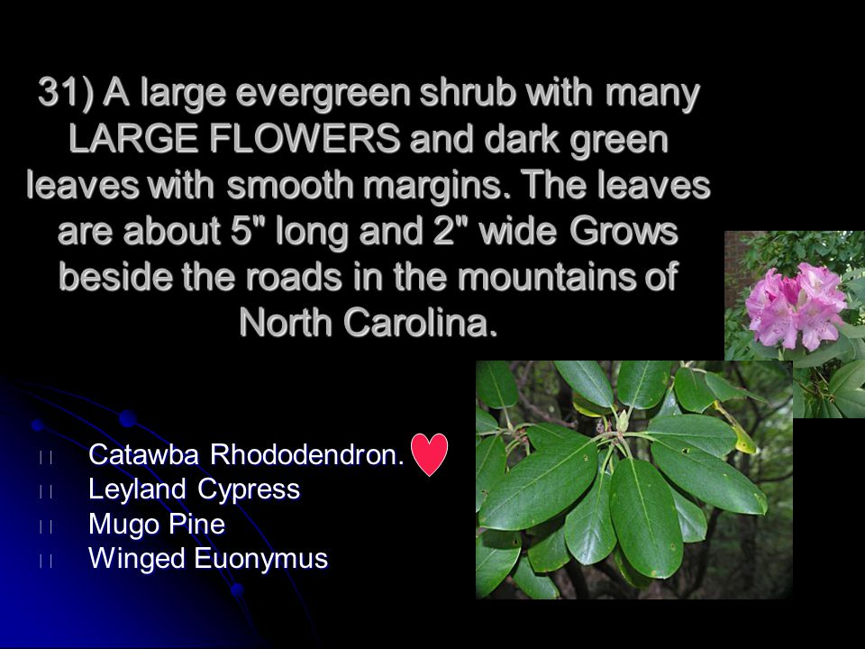 31) A large evergreen shrub with many LARGE FLOWERS and dark green leaves with smooth margins. The leaves are about 5 long and 2 wide Grows beside the roads in the mountains of North Carolina.