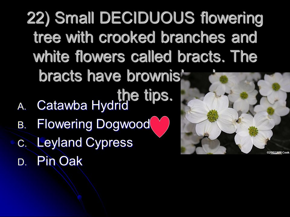 22) Small DECIDUOUS flowering tree with crooked branches and white flowers called bracts. The bracts have brownish color on the tips.