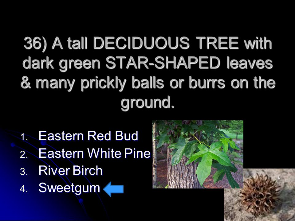 36) A tall DECIDUOUS TREE with dark green STAR-SHAPED leaves & many prickly balls or burrs on the ground.