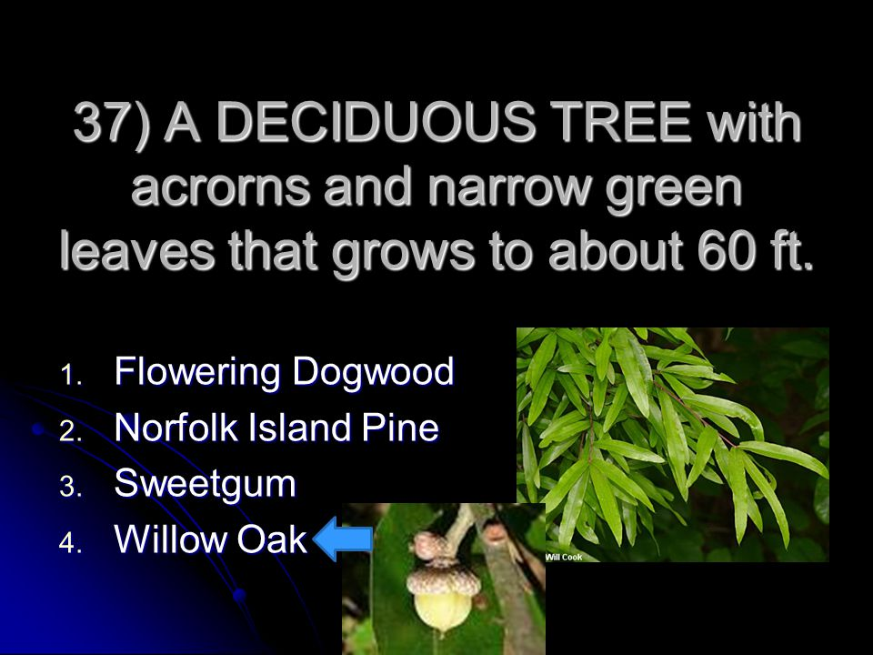 37) A DECIDUOUS TREE with acrorns and narrow green leaves that grows to about 60 ft.