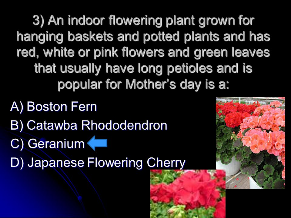 3) An indoor flowering plant grown for hanging baskets and potted plants and has red, white or pink flowers and green leaves that usually have long petioles and is popular for Mother's day is a: