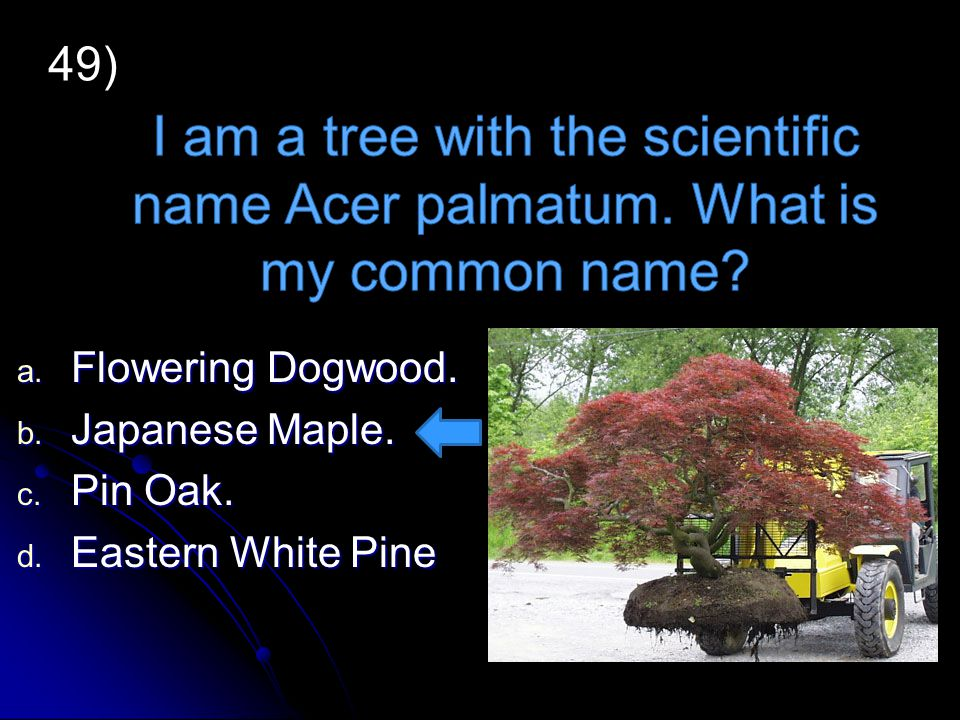 49) I am a tree with the scientific name Acer palmatum. What is my common name Flowering Dogwood.