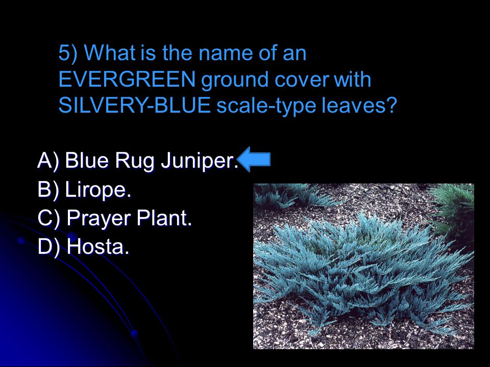 5) What is the name of an EVERGREEN ground cover with SILVERY-BLUE scale-type leaves