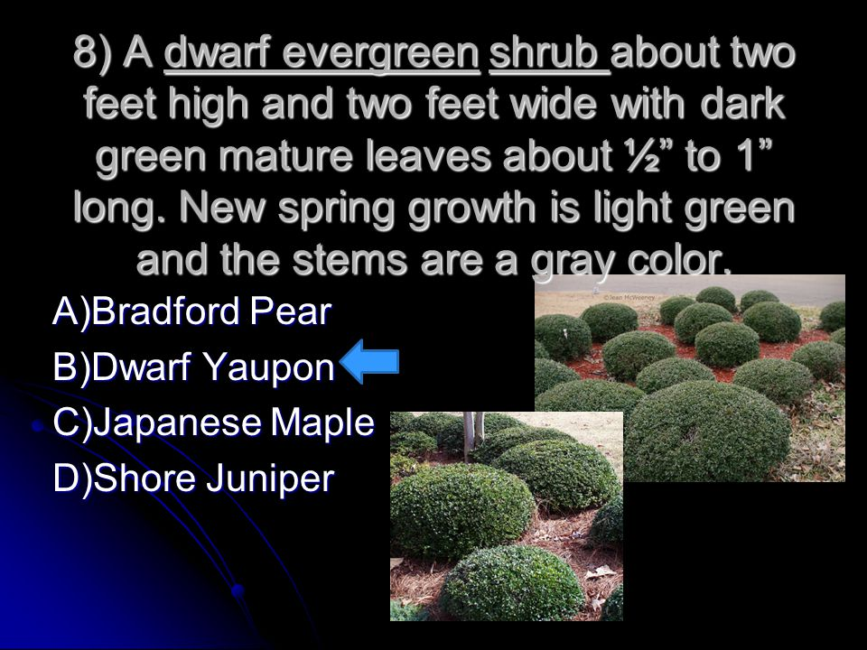 8) A dwarf evergreen shrub about two feet high and two feet wide with dark green mature leaves about ½ to 1 long. New spring growth is light green and the stems are a gray color.