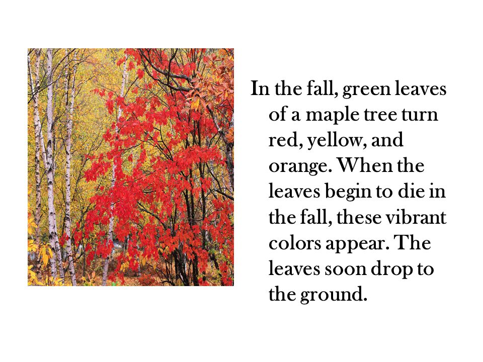 In the fall, green leaves of a maple tree turn red, yellow, and orange