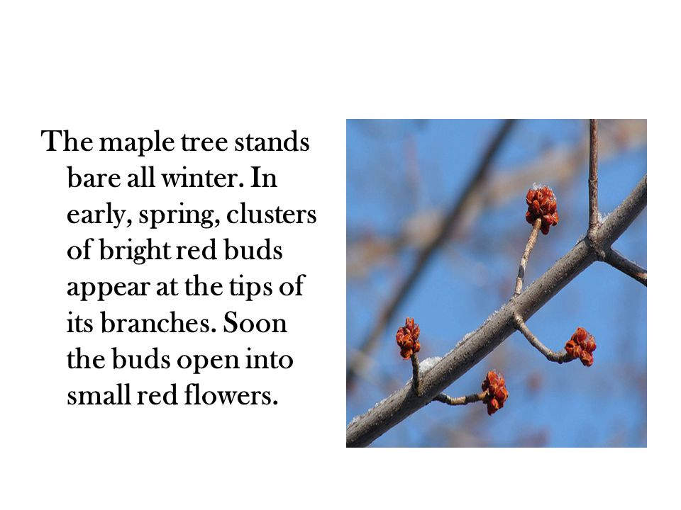 The maple tree stands bare all winter