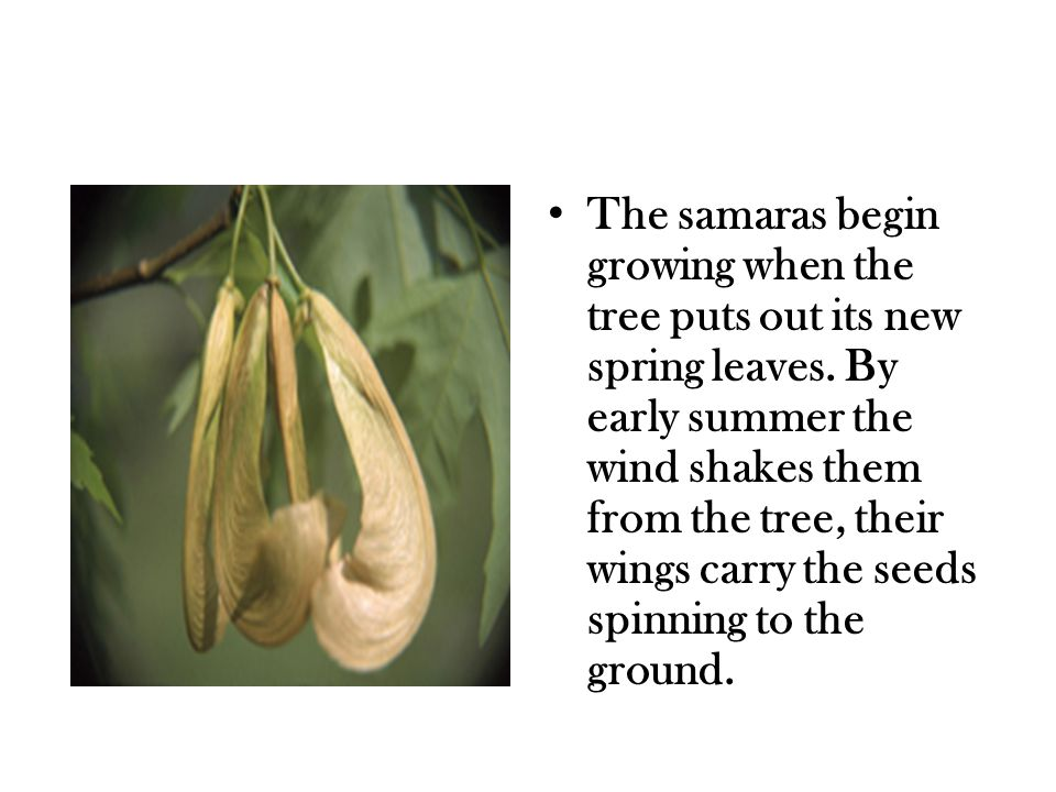 The samaras begin growing when the tree puts out its new spring leaves